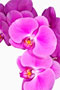 Phalaenopsis  'Mme. Butterfly'