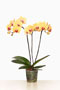 Phalaenopsis  'Solid Gold'