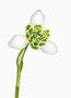 Galanthus 'Hippolyta', Greatorex-Doubles